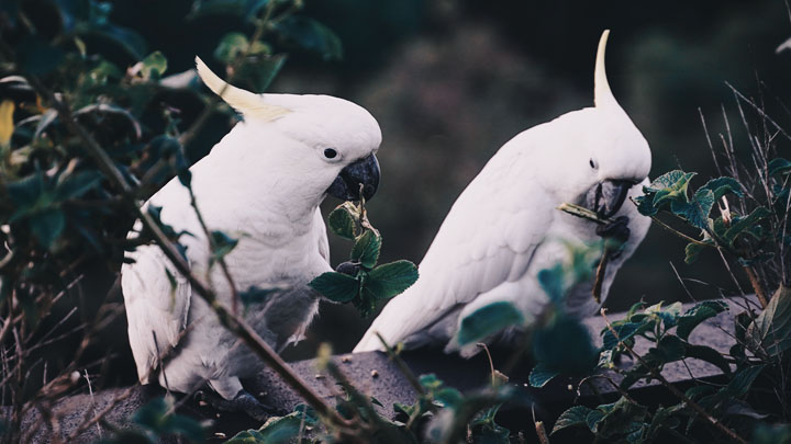 what is a cockatoo