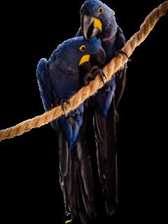 Couple parrot png