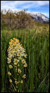 I found a field of these Cherry Laurel flowers on the Bonneville Shoreline Trail