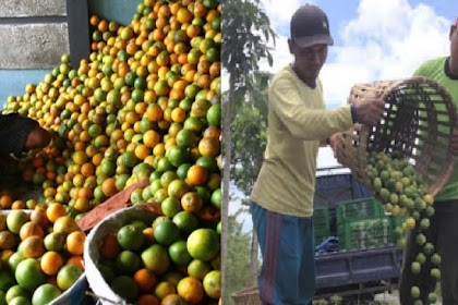 Harga Jual Makin Anjlok, Petani Ini Buang Jeruk Hasil Panen