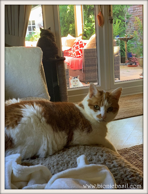 Feline Fiction on Fridays #104 at Amber's Library  @BionicBasil® Amber, Pandora and Smooch