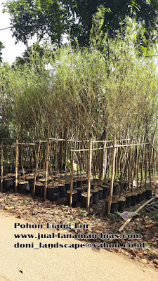 Jual Pohon Liang Liu | Tanaman Menjuntai | Pohon Pelindung