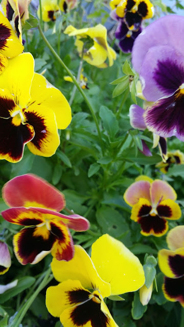 Seed Savers Iowa Historic Pansies Mix Wendy Kolar Mullen