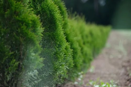 How to plant a hedge: here are 4 simple steps to do it right