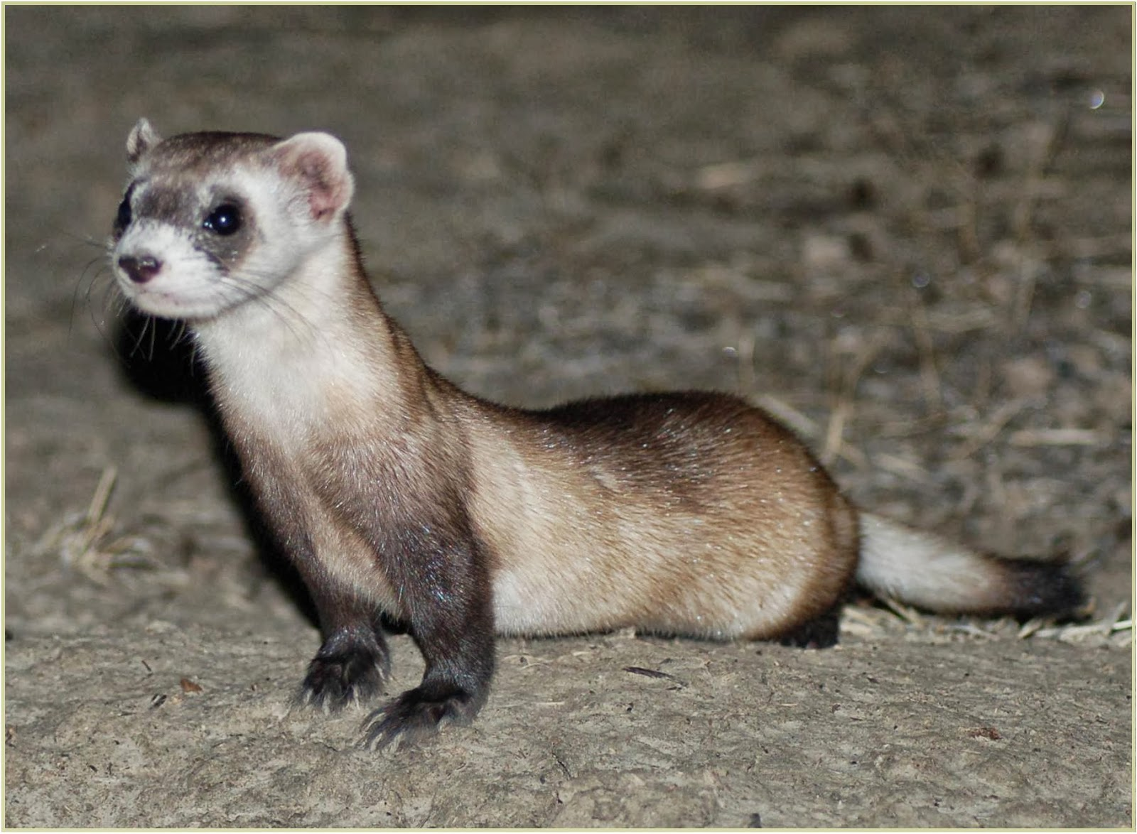 Ferret Animals | Interesting Facts & Latest Pictures | All ...
