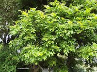 Titoki tree, Te Kainga Marire - New Plymouth, New Zealand