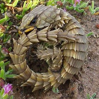 Armadillo Lizards look like Baby Dragons | Animals Library
