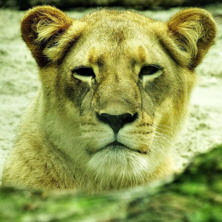 Uma das duas leoas do Parque da Santur