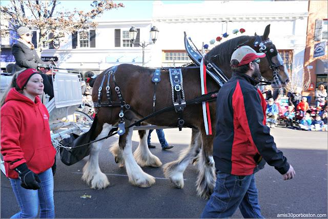 Hobby Knoll Carriage HKS Clydesdales en el Desfile de Acción de Gracias de Plymouth