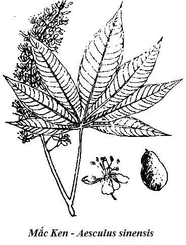 Hình vẽ Mắc Ken - Aesculus sinensis - Nguyên liệu làm thuốc Có Chất Độc