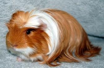 10.Guinea pig