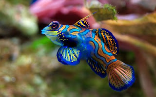 Mandarinfish ocean day 2020