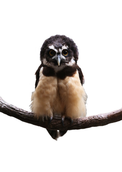 Spectacled Owl with No Background