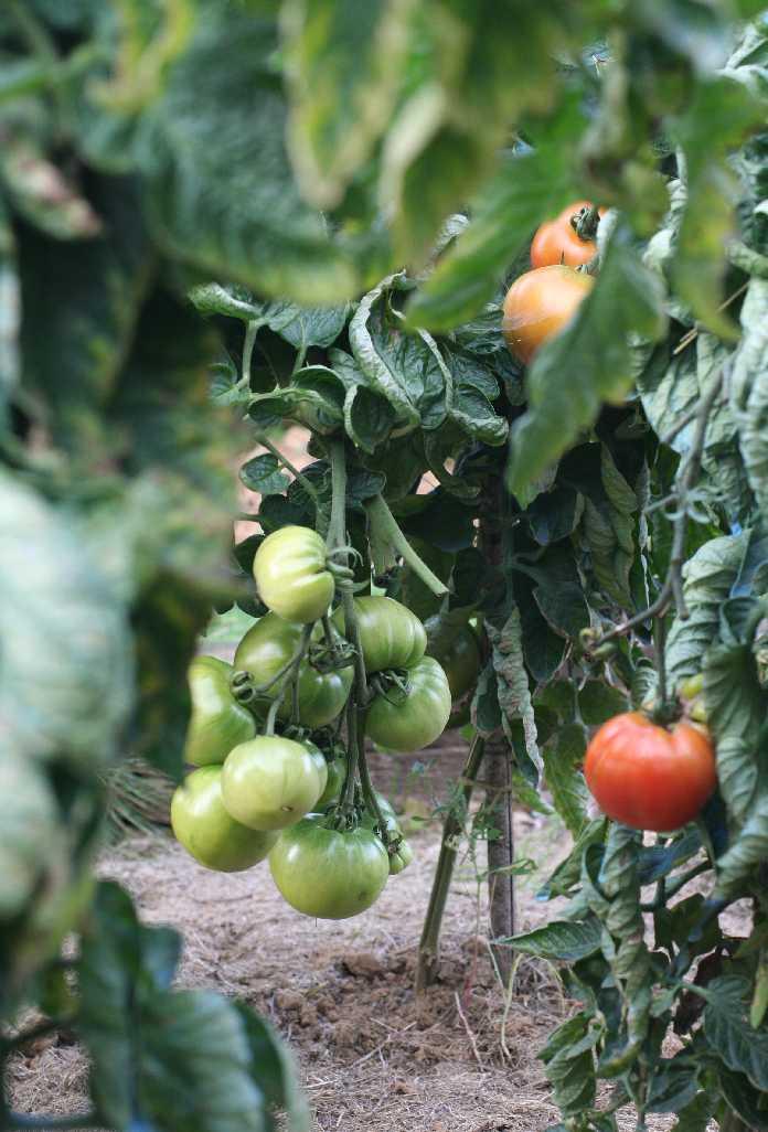 un jardin potager en hesbaye tomates. Black Bedroom Furniture Sets. Home Design Ideas
