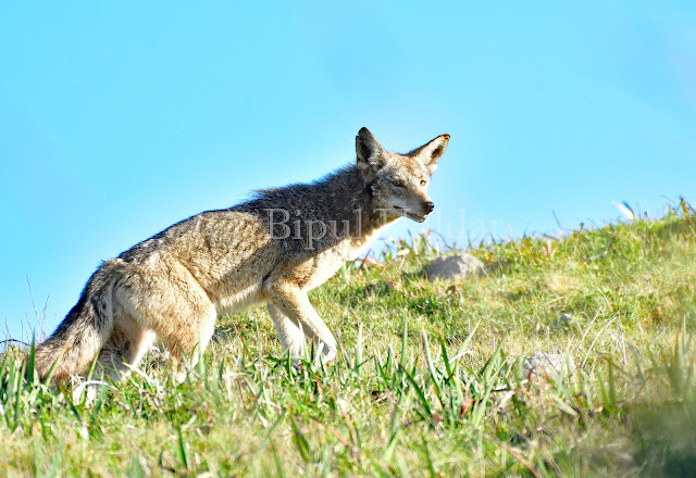 A Coyote on a stroll