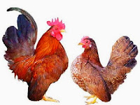 Perbedaan Ayam Kate dan Ayam Serama