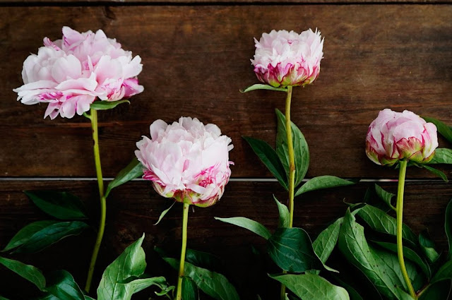 Peony of Kosovo and Albania - The Power of Petals Against Stress and Boredom