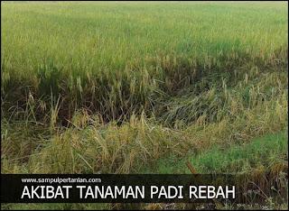 Kerugian akibat tanaman padi rebah atau ayeuh