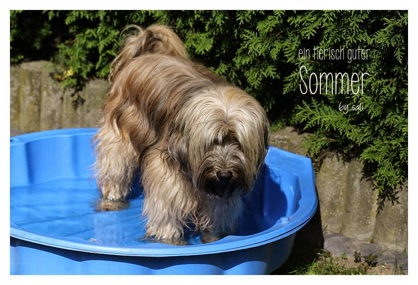 Tibet Terrier Chiru im Hundepool