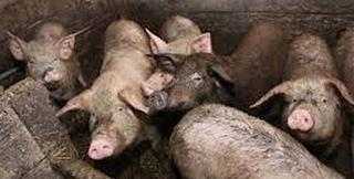 Φρικτός θάνατος για 56χρονη Ρωσίδα: Κατέρρευσε ανάμεσα στα γουρούνια και την έφαγαν ζωντανή