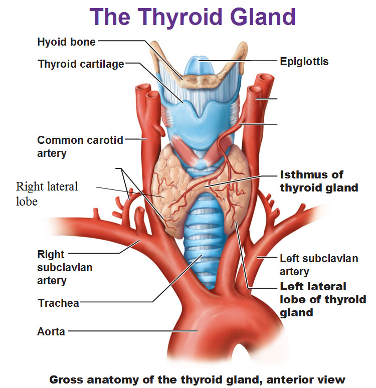 Human Anatomy Thyroid Gland Anatomy