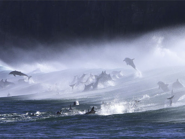 Bottlenose Dolphins in Surf
