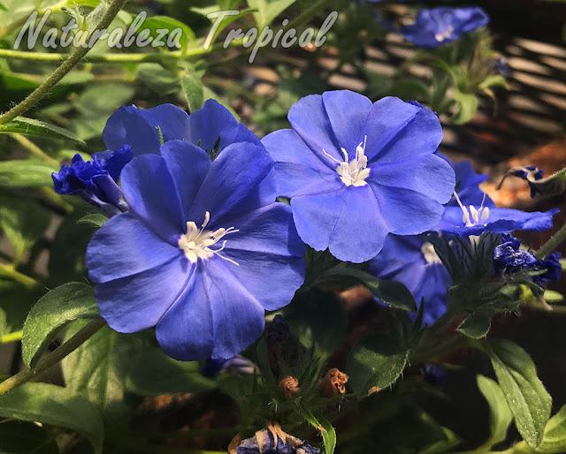 Vista de las flores de una especie del género Evolvulus. Campanita Azul o Dade