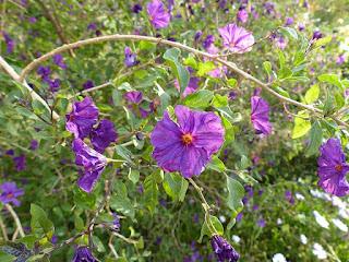 Arbre à Gentiane - Lycianthes rantonnetii - Solanum rantonnetii