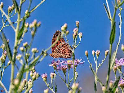 Tsumagurohyomon (Argyreus hyperbius) butterfly (female): Kaizo-ji