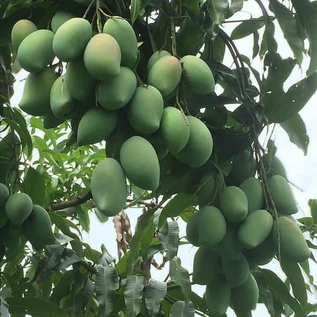 Stok melimpah! bibit buah mangga alpukat Kota Bandung #bibit buah genjah