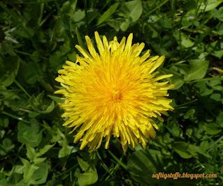 sattgelber Löwenzahn. Blüte von oben fotografiert.