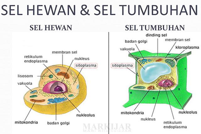 Sitoplasma pada sel hewan dan sel tumbuhan