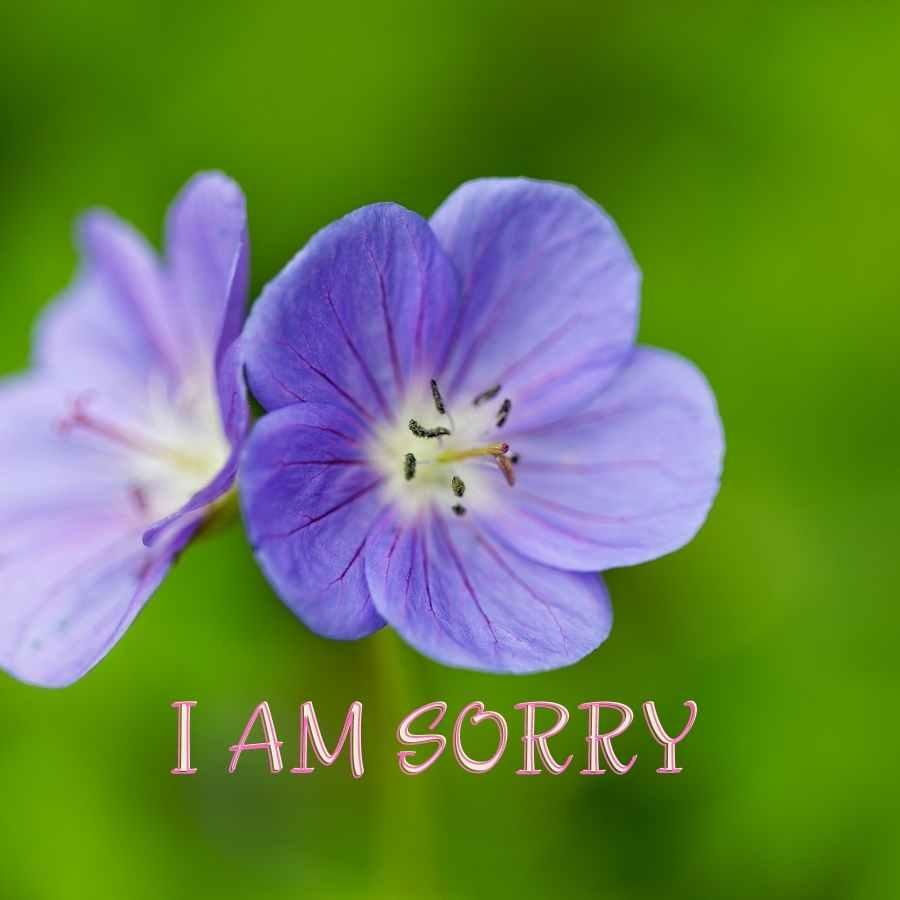 i am sorry rose image