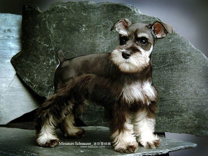 Cute Yorkshire Terrier Puppies Wallpaper Cute Dogs Miniature Schnauzer Dog