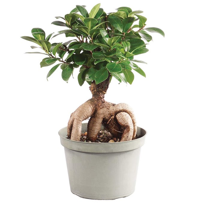 Brussel's Bonsai Live Gensing Grafted Ficus Indoor Bonsai Tree