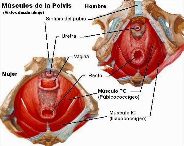 Pelvis femenina y masculina, músculos del perineo, diafragma ...
