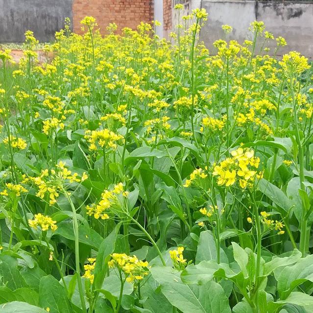 Thơ Về Hoa Cải - Chùm Thơ Ngắn Viết Về Mùa Hoa Vàng Cải Ven Sông