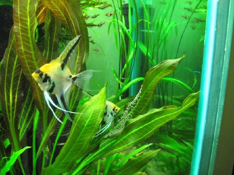 ikan manfish terbesar