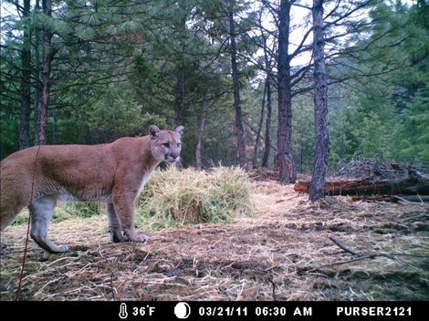 Cougars Near Me >> Wolves, Wolf Facts, Cougars, Cougar Facts, Coyotes, Coyote Facts - Wolves, Cougars, Coyotes ...