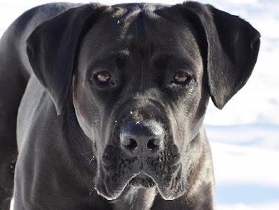 black dog breeds, black and white dog breeds