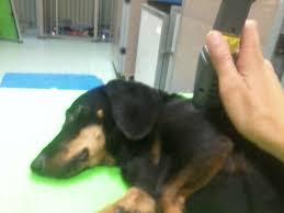 tratamento acupuntura em cães