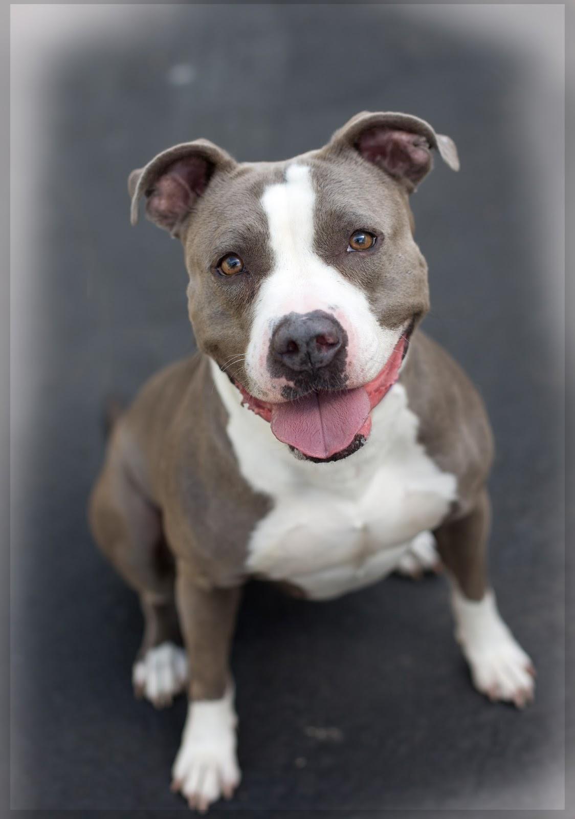 Wonderful Grey Chubby Adorable Dog - pitmix1  HD_766535  .jpg