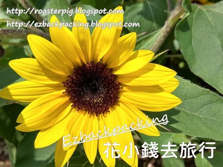 香港 向日葵