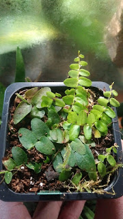 """Marcgravia sp. """"green"""""""