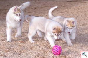 Camada de Cachorros Siberian Husky Nariz de Nieve