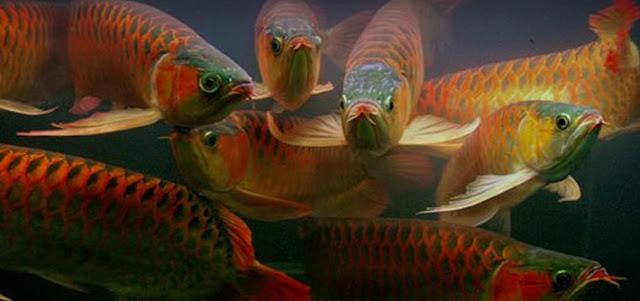 Budidaya Ikan Arwana - Cara Budidaya Ikan