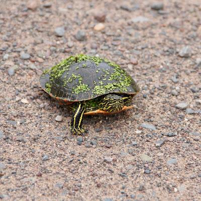 painted turtle crossing gravel road