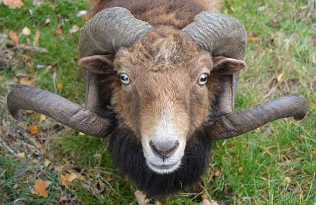 Apa Benar Domba Bisa Mengenali Wajah Manusia?