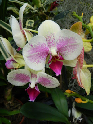 Phalaenopsis Moth Orchid hybrid at the Allan Gardens Conservatory 2016 Spring Flower Show by Paul Jung Gardening Services