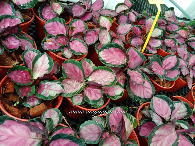 "Calathea roseopicta ""Rosy"""